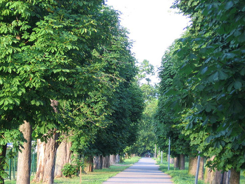 Buckeye Trees