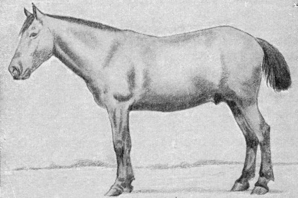 Burmese Pony
