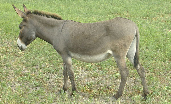 Donkey or Burro