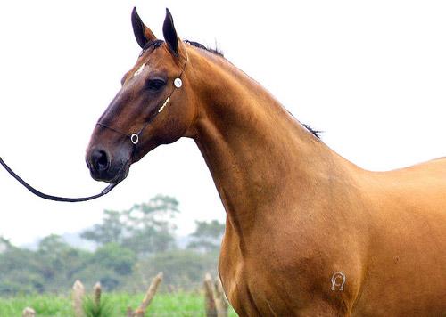 Campolina Horse