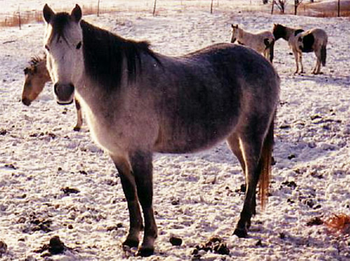 Canadian Rustic Pony