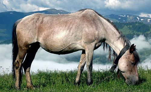 Carpathian Pony