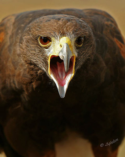 Screaming Harris Hawk