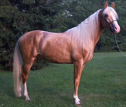 Gold Champagne Horse