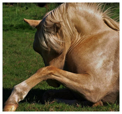 Horse laying on the ground