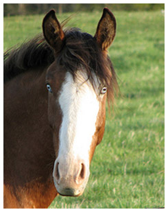 Brown horse with light blue eyes
