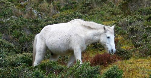 Chumbivilcas Horse