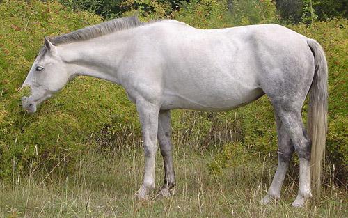 Cimarron Horse