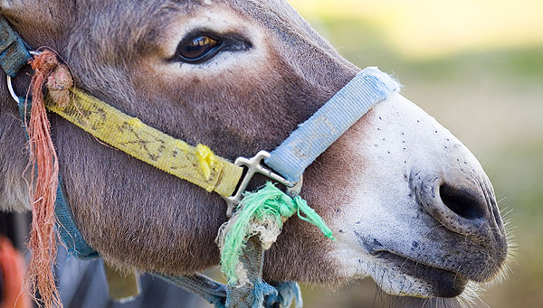 Circus Donkey