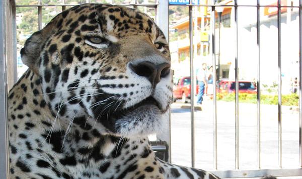 Circus Jaguar