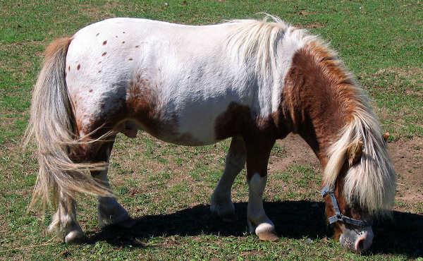 Chestnut Appaloosa Horse