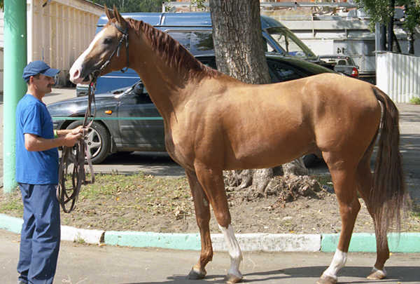 Sandy Chestnut Horse