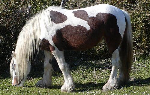 Corsican Horse