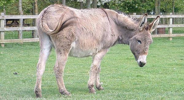 Cotentin Donkey
