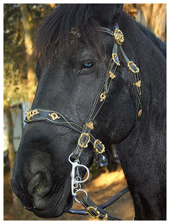 Blue eyed Friesian