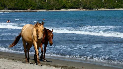 Cuban Paso Horse