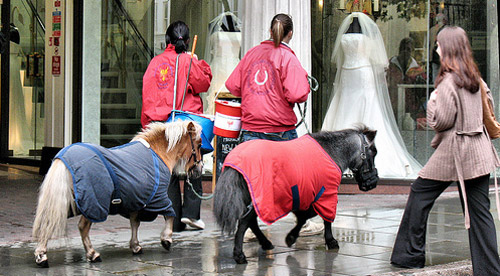 Miniature horses being lead down a city street