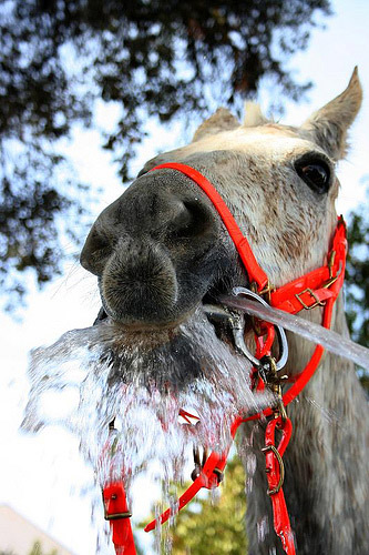 Horse drinking from a hose