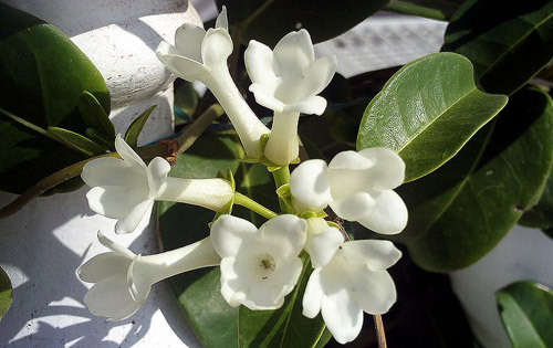 Day Blooming Jasmine
