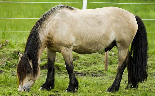 Døle Gudbrandsdal Horse