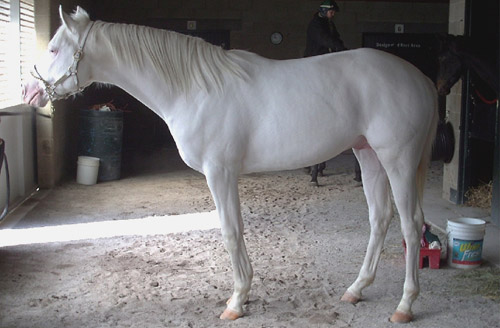 Dominant White Horse