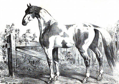 Dongola Horse