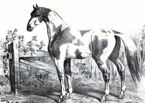 Dongola Horse
