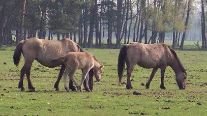 Dülmen Pony