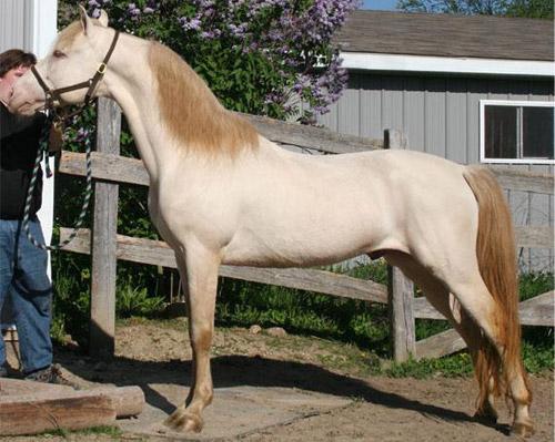 Perlino Dun Horse