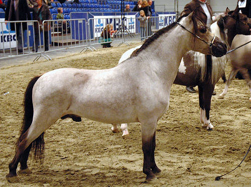 Dutch Mini Horse