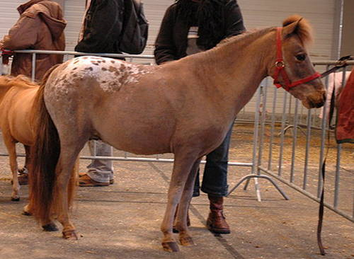 Dutch Mini Horse