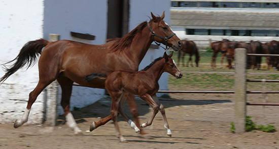 East Bulgarian Horse