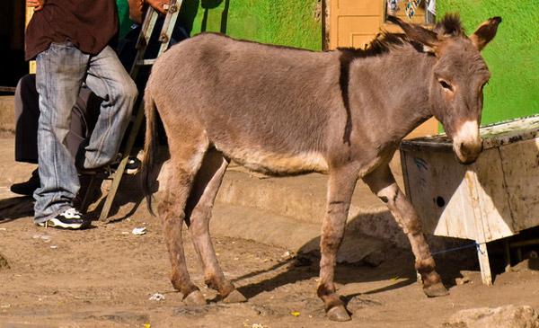 Abyssinian / Ethiopian Donkey
