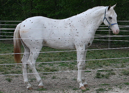 Few Spot Leopard Appaloosa