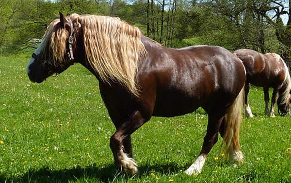 Dark Flaxen Horse