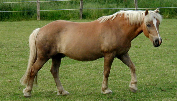 Light Flaxen Horse