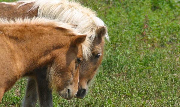 Flaxen Horses