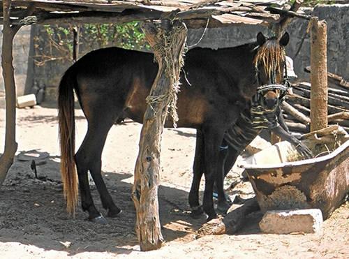 Fouta Horse