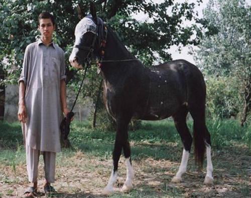 Ghazi Horse