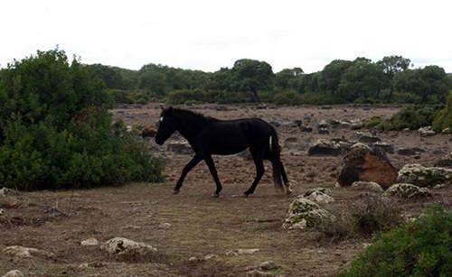 Giara Horse