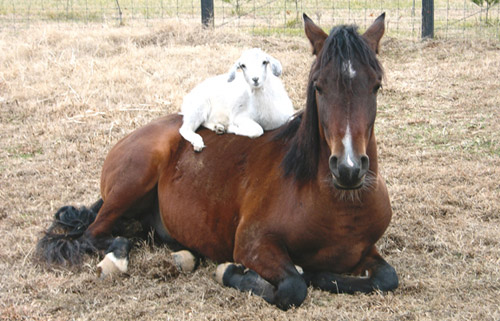 Goat laying on a horse