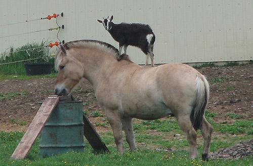 Goat riding horse