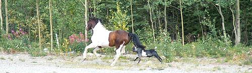Goat & horse running