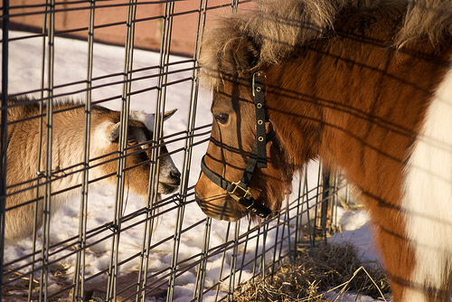 Goat & horse touching noses