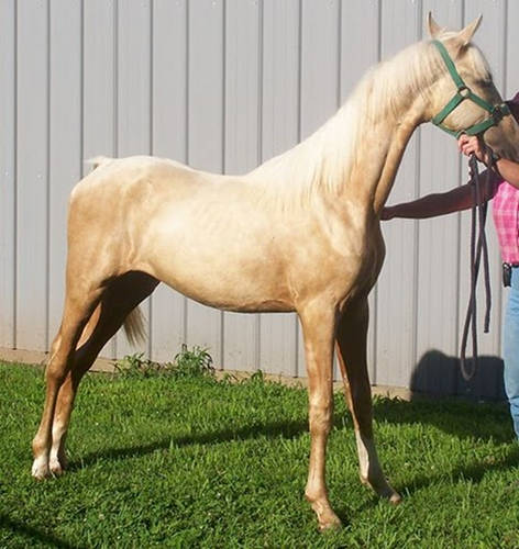 Golden American Saddlebred Horse