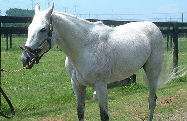Fleabitten Grey Horse