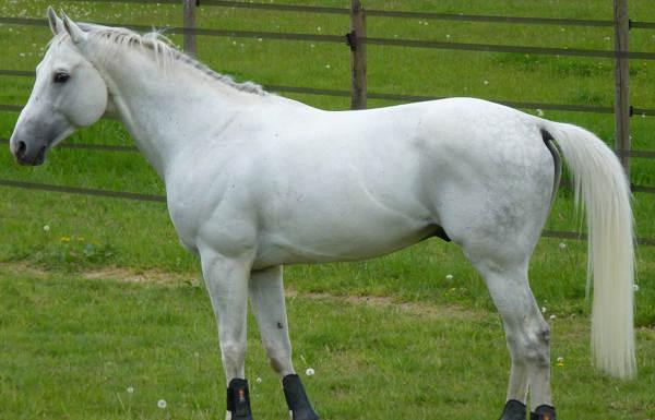 White Grey Horse