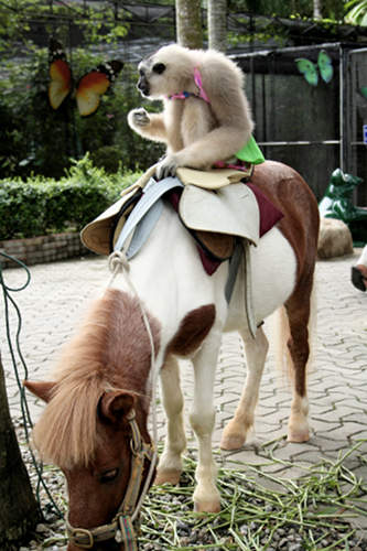 Monkey riding a pony