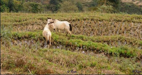 Hmong Horse