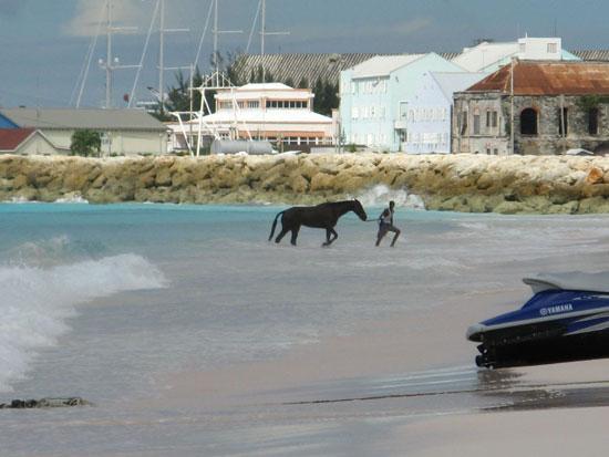 Horses in Barbados
